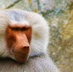 Face of Male Baboon at NC Zoo in Asheboro Showing Red Skin